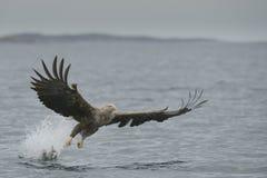 Jagd-Meer Eagle Stockfotografie