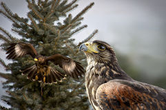 Jagd mit zwei Rot angebundene Falken Stockfoto