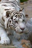Jagd-Tiger Lizenzfreies Stockbild