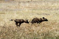 Jagd von afrikanischen wilden Hunden Stockbild