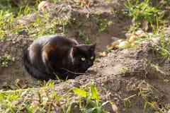 Jagden der schwarzen Katze auf der Natur lizenzfreies stockfoto