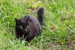 Jagden der schwarzen Katze im grünen Gras lizenzfreies stockbild