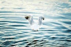 Jagden einer große weiße Möve auf Wasser stockfotografie