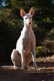 Jagdhund Lizenzfreies Stockfoto