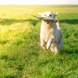 Jagdhund bei der Arbeit Lizenzfreies Stockfoto