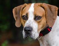 Jagdhund gemischter Zuchthund Stockbild