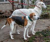 Jagdhunde auf einem Leine svorka - russischer Barzoi und russischer gescheckter Jagdhund Lizenzfreie Stockbilder