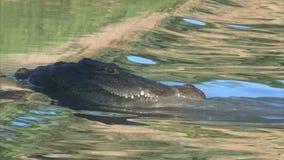 Jagdkrokodil im seichten Wasser stock video footage