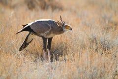 Jagdsekretärvogel stockfotografie