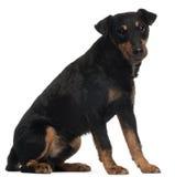 Jagdterrier или немецкий Terrier Hunt, 4 лет старого стоковое изображение rf