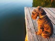 Jagdterrier сидело на мосте стоковое изображение rf