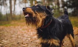 Jagdterrier Stock Photography