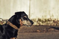 Jagdterrier staring into the distance. German Hunting Terrier in profile Royalty Free Stock Images