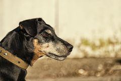 Jagdterrier staring into the distance. German Hunting Terrier in profile Royalty Free Stock Photos