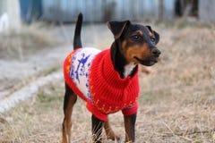 Jagdterrier - Terrier de búsqueda alemán Fotos de archivo libres de regalías