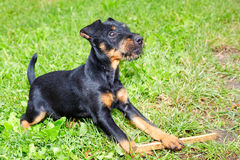 Jagdterrier Royalty Free Stock Images