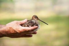 Jagen Sie in den Händen von Schnepfen Stockfotos