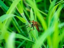 Jagen Sie der Fliege im Gras lizenzfreie stockfotos