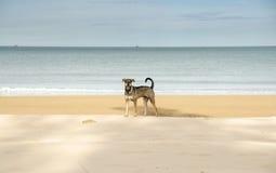 Jagen Sie Hund auf dem Strand, der zur Kamera schaut lizenzfreies stockbild