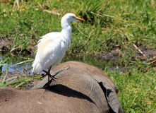 Jagen von Pelikanen Stockfoto