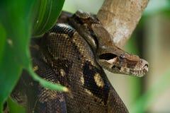 Jagende anaconda Stock Foto
