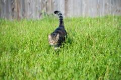 Jagende gestreepte katkat Royalty-vrije Stock Foto's