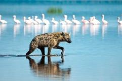 Jagende Hyena Stock Afbeeldingen