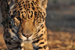 Jagende jaguar Royalty-vrije Stock Fotografie