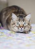 Jagende kat Royalty-vrije Stock Afbeeldingen