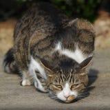 Jagende kat Royalty-vrije Stock Afbeelding