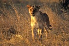 Jagende leeuwin Royalty-vrije Stock Afbeeldingen