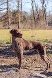 Jagershond Royalty-vrije Stock Afbeeldingen