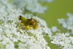 Jagged Ambush Bug. A Jagged Ambush Bug waiting on a flower for some prey Royalty Free Stock Images