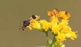 Jagged Ambush Bugs Royalty Free Stock Image