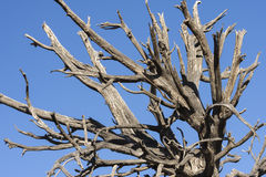 Jagged dead dry tree under blue sky Stock Photography