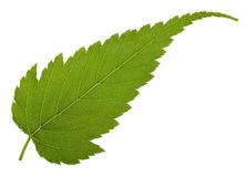 Jagged leaf Stock Photos