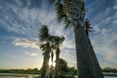 A jagged line of palm trees blowing backward royalty free stock photo