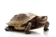 Jagged shell box turtle. (Pyxidea mouhotii mouhotii) isolated on white background Stock Photography
