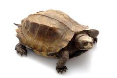 Jagged shell box turtle. (Pyxidea mouhotii mouhotii) isolated on white background Royalty Free Stock Images