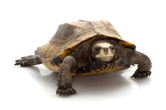 Jagged shell box turtle Stock Image