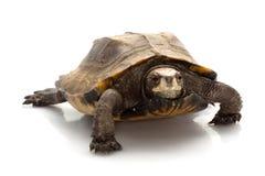 Jagged shell box turtle. (Pyxidea mouhotii mouhotii) isolated on white background Stock Image