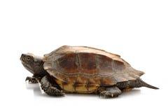 Jagged shell box turtle. (Pyxidea mouhotii mouhotii) isolated on white background Royalty Free Stock Photo