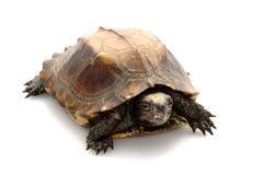 Jagged shell box turtle. (Pyxidea mouhotii mouhotii) isolated on white background Stock Photos