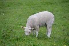 Jagnięca łasowanie trawa Zdjęcie Stock