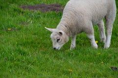 Jagnięca łasowanie trawa Obrazy Royalty Free