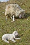 jagnięca mała matka Zdjęcie Royalty Free