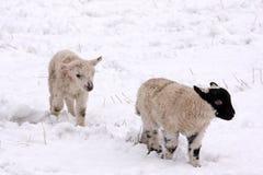 jagnięca wiosny śniegu Obraz Royalty Free