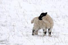 jagnięca wiosny śniegu Obrazy Stock