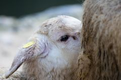 Jagnięcego dziecka ssać barani mleko od jego matki Zdjęcia Stock