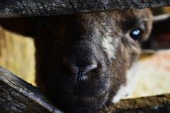 Jagnięcy Patrzejący kamerę przez Drewnianych przeszkod pióro Obrazy Royalty Free